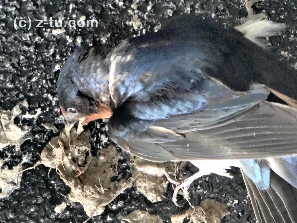巣を作る燕1日目