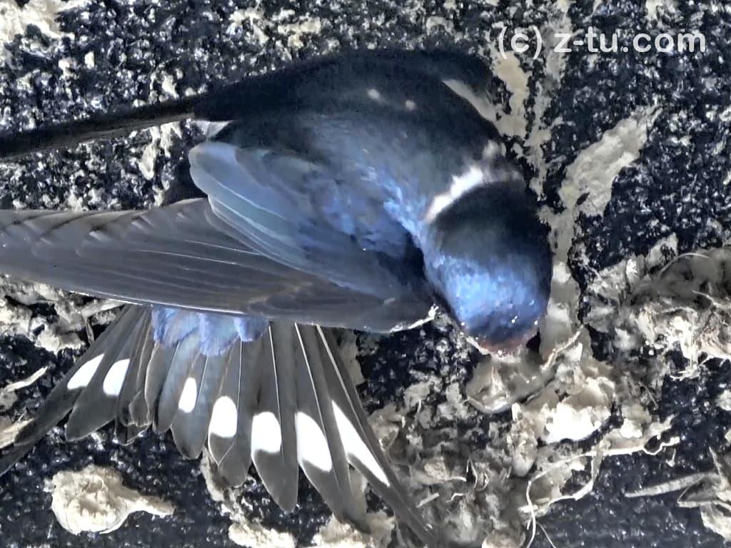 巣を作る燕2日目