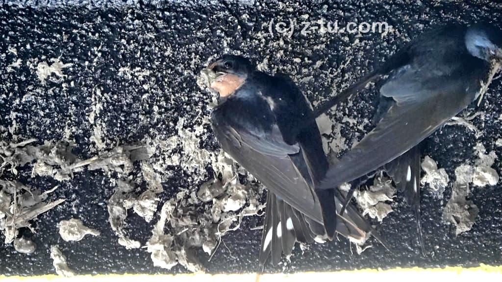 巣を作る燕3日目